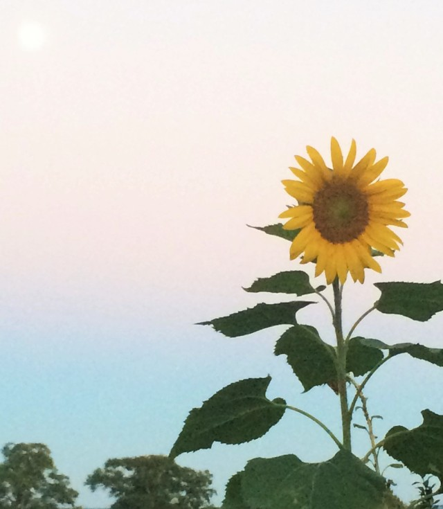 sunflower-moon